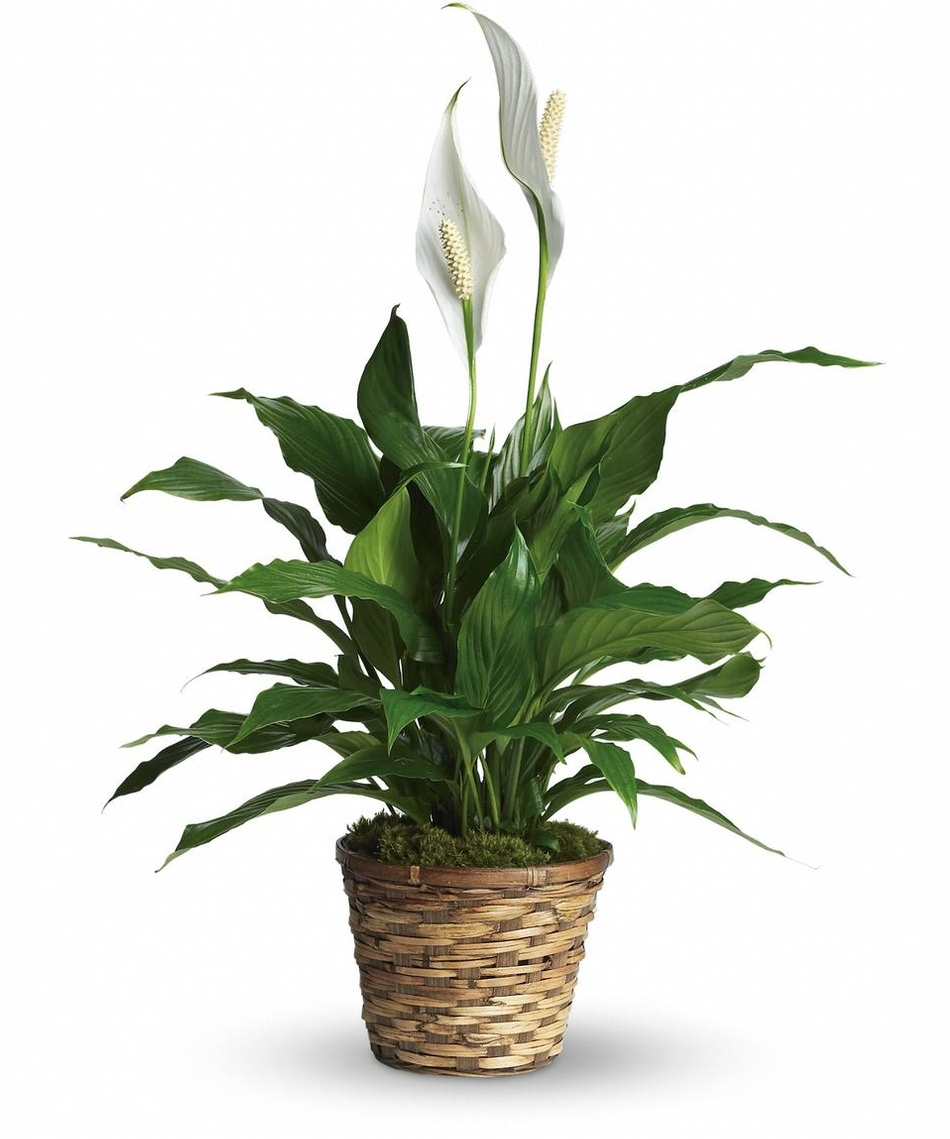 Top 5 Plants for your Bathroom - Peace Lily In Bathroom on aloe plant in bathroom, air plants in bathroom, prayer plant in bathroom,